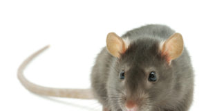 rat deratisation